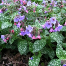 Медуница сахарная Миссис Мун (Pulmonaria saccharata Mrs Moon)